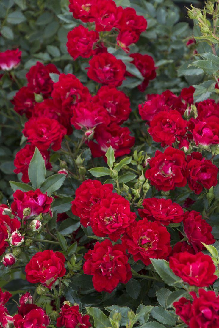 Red Drift 174 Groundcover Rose Monrovia Red Drift