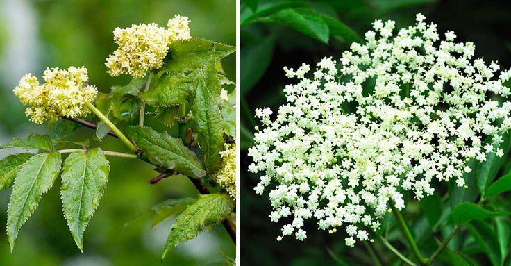 Druvfläder är giftig medan vanlig fläder går att äta. Innan blommorna kommit är de förvillande lika. Här är knepet som avslöjar sorten långt innan bladen kommit.