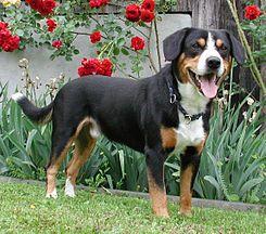 Boyero de Entlebuch es el de menor tamaño de los Sennenhund o perros de montaña suizos, un tipo de perro que incluye cuatro razas regionales.    EntlebucherBall2 wb.jpg  El término Sennenhund hace referencia a unas personas características de los Alpes suizos, pastores de profesión conocidos como Senn