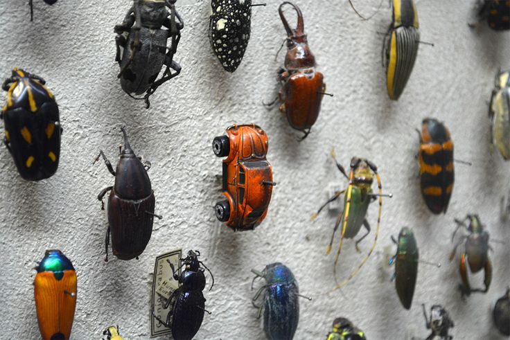 A VW Beetle Spotted in the Insect Collection at the Cleveland Museum of Natural History by thisiscolossal: Spotted by Redditor muppaphone ! #VW_Beetle
