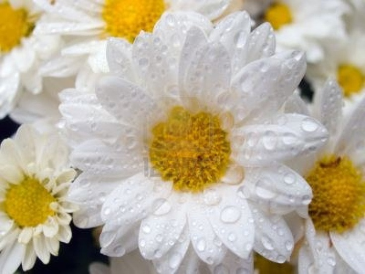 White Daisy With Drops Of Water (on Another Daisys Background) Royalty Free Stock Photo, Pictures, Images And Stock Photography. Image 608577.