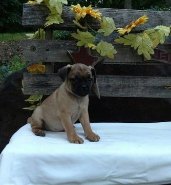 Litter of 7 Jug puppies for sale in STEVENS, PA. ADN-35023 on PuppyFinder.com Gender: Male. Age: 8 Weeks Old