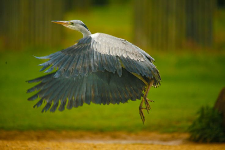 Immature Grey Heron In Flight Bushy Park 2014