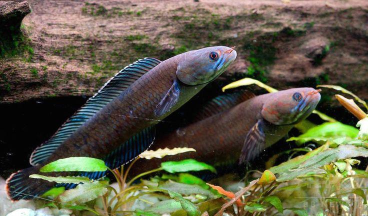 ヒマラヤ山脈東部の地域で発見された新種の「歩く」スネークヘッドフィッシュ Snakehead fish 。世界自然保護基金が公開(2015年10月6日公開)。(c)AFP/WWF/HENNING STRACK HANSEN ▼6Oct2015AFP|「くしゃみザル」や「歩く」魚など、新種生物211種をヒマラヤで発見 http://www.afpbb.com/articles/-/3062369