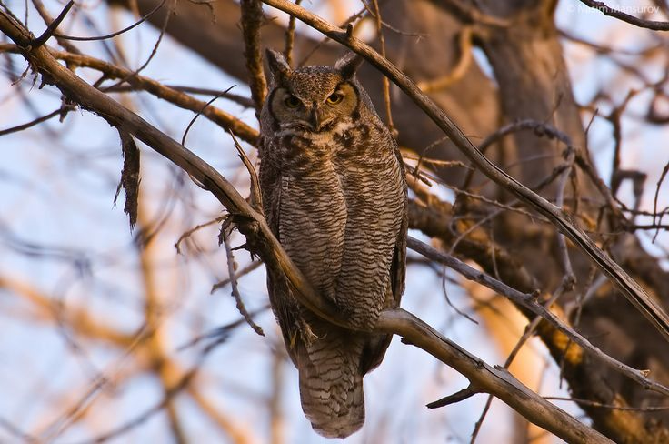 Great Horned Owl Facts For Kids | Great Horned Owl Diet ...