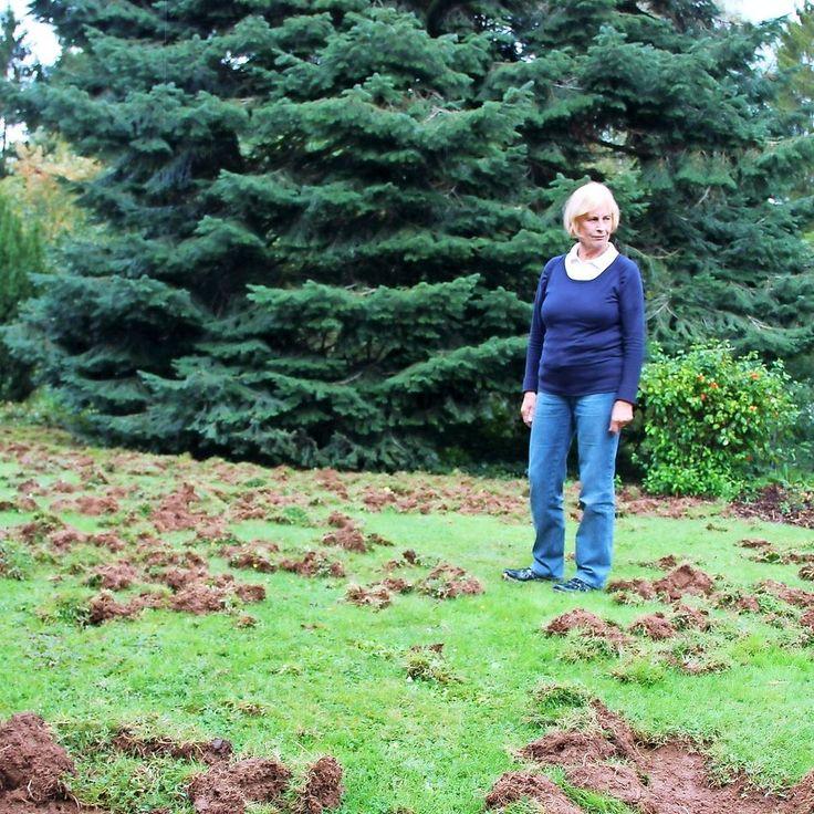 #SZ | Wildschweine verwuesten Hausgarten #in #Dillingen   Dillingen.  Wildschweine verwuesten #den #Garten #einer #Familie #in #Dillingen. #Das Jagdgesetz weist #die #Jaeger zunaechst #in #die Schranken. Von Carolin #Merkel    #Schon haeufiger, erzaehlt Ilona Herzler, #hat #sie #in #ihrem #Garten #in #der Joseph-Roederer-Strasse #in #Dillingen #Besuch #von Wildschweinen gehabt.