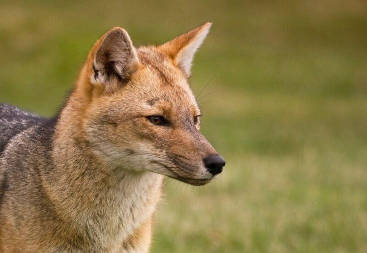 The Andean Fox - one of the 26 beautiful species of mammal in Torres del Paine National Park. #chile #adventure travel #southamerica #fox #animals #wildlife