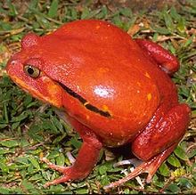 Madagascar Tomato Frog (Dyscophus antongilii) by Franco Andreone: 'It is thought that the brilliant colours of the tomato frog act as a warning to potential predators that these frogs are toxic; a white substance secreted from the skin acts as a glue to deter predators (such as colubrid snakes) and can produce an allergic reaction in humans.' http://en.wikipedia.org/wiki/Dyscophus_antongilii #Frog #Tomato_Frog #Madagascar