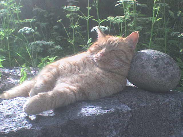 Red Cat - Hard Pillow