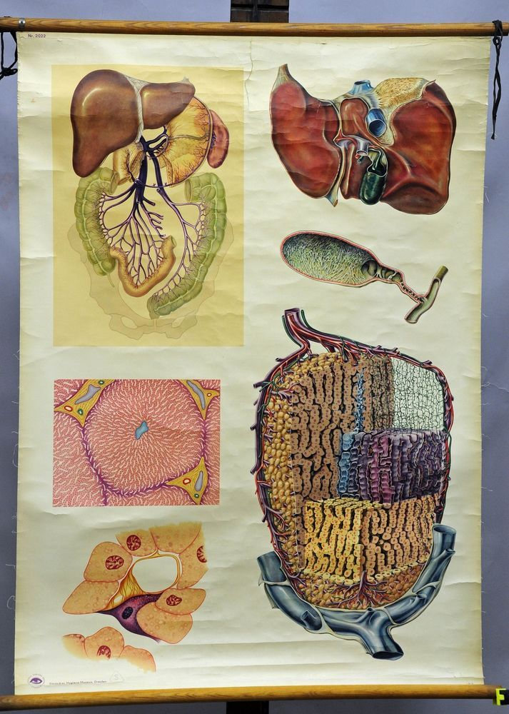 Vintage Medical Rollable Wall Chart Poster Anatomy Physiology The