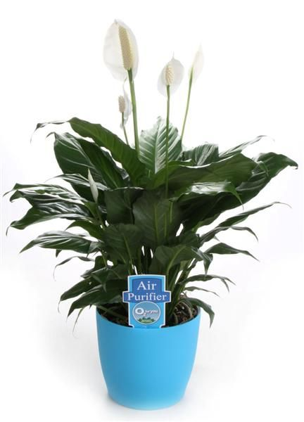 stylist lily house plant. Peace Lily  This is one of the best and hardiest indoor plants 146 Indoor Plants images on Pinterest House