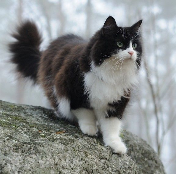 Repin.   A Norweign Forest Cat I think.  Commonly known as a Wiggie.