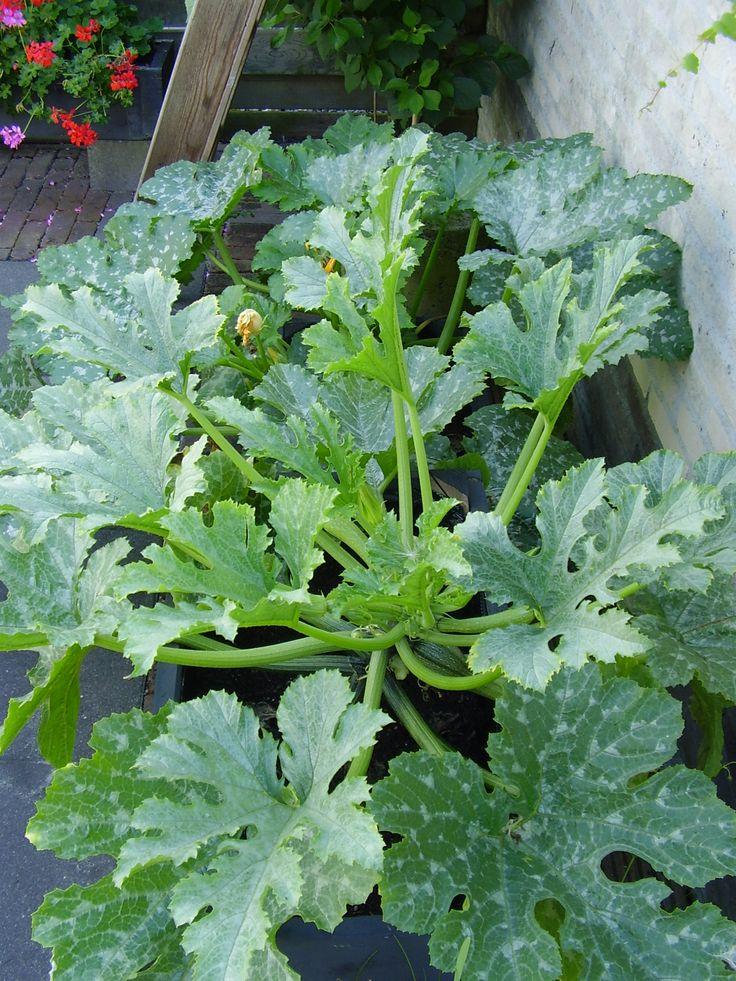 Michel's blog - Home sweet home. De courgettes groeien flink en ik kan er al 3 oogsten! Bekijk meer tips op www.tuinen.nl