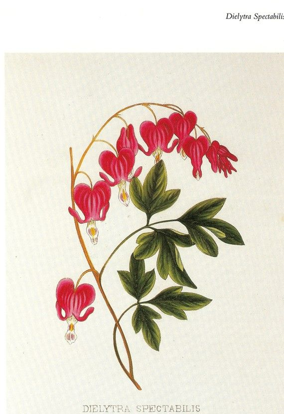 top  best bleeding heart tattoo ideas on   deviantart, Natural flower