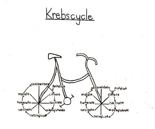 Krebs Cycle joke