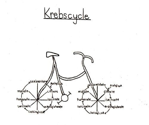 Krebs Cycle joke