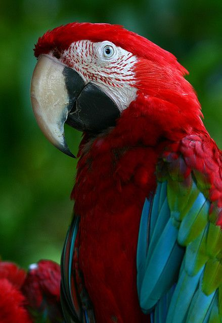 GREEN-WINGED MACAW - Ara chloropterus . . . Also Red-and-Green Macaw . . . N & C South America