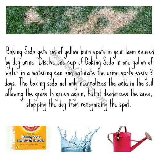 To get rid of yellow burn spots in your lawn caused by dog urine: Dissolve 1cup baking soda into 1 gallon of water in a watering can. Saturate the spots every 3 days. The baking soda not only neutralizes the acid in the soil to allow grass to green again, it deodorizes the area. This stops the dog from recognizing the spot. If this can stop a dog from recognizing the spot, I would be amazed!