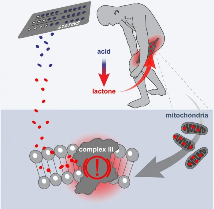 New research suggests a common side effect of statins that affects the muscles may be due to the cholesterol-lowering drugs' disruption of mitochondria function in muscle cells.