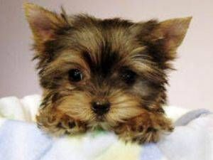 Yorkie TEACUP Puppies- ill have one, one of these days :)