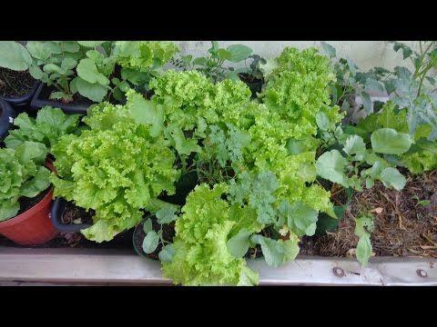 Como plantar 1 alface e colher 3, em 3 meses dicas de jardinagem - YouTube