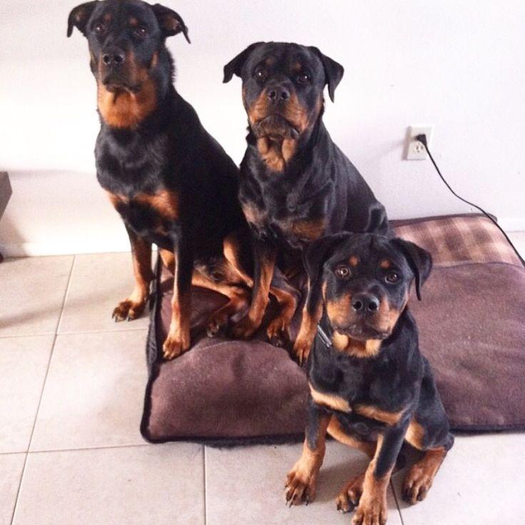 belgian shepherd puppies for sale in sri lanka