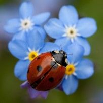 Ladybird on  forget-me-not
