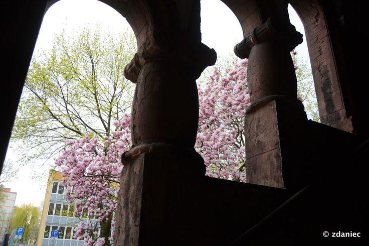 Gliwicki Festiwal Magnolii :-) (fot. Z Daniec) #gliwice #magnolie #wiosna #springtime #flowers