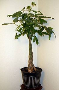 Care Instructions for a Money Tree Plant.   Water money tree plants once every seven to 10 days. Apply just enough water to dampen the soil, and use a spray bottle filled with water to mist the foliage of the tree.