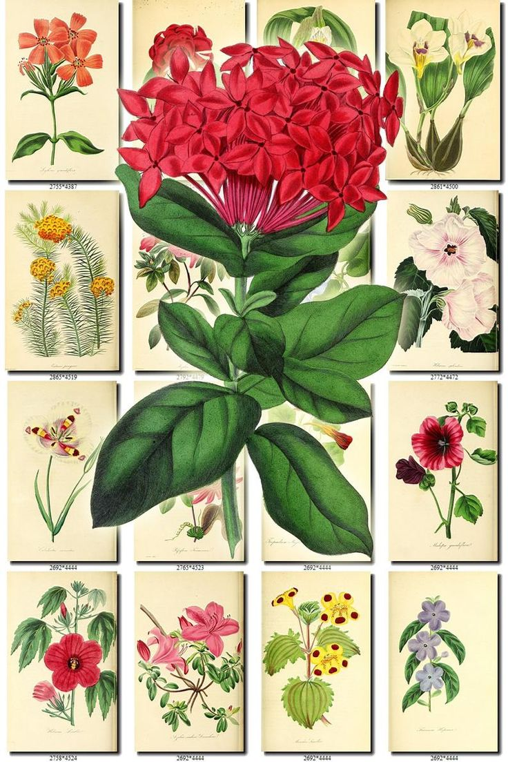 FLOWERS135 Collection of 200 vintage images Ixora