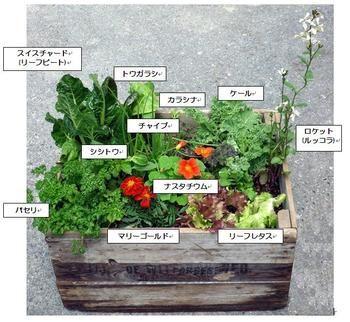 1つのプランターに色々寄せて植えると場所もとらず収穫の楽しみも倍増です。この寄せ植えプランターはこれだけで、贅沢なサラダを頂くことができちゃう嬉しい寄せ植えアイデアです。