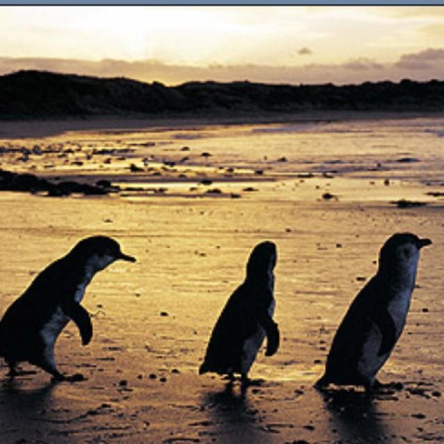Philip Island..Victoria Little (Fairy) Penguin Parade :)