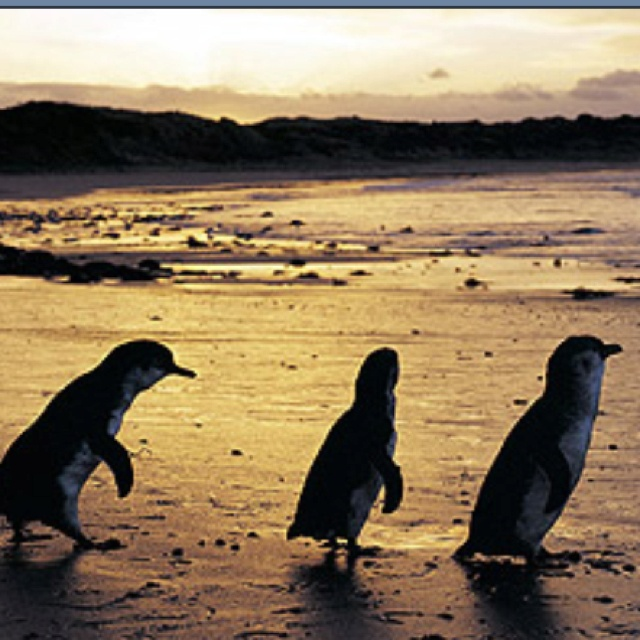 Philip Island..Victoria Little (Fairy) Penguin Parade :)