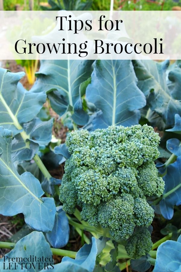 tips for growing broccoli in your garden gardens how to. Black Bedroom Furniture Sets. Home Design Ideas
