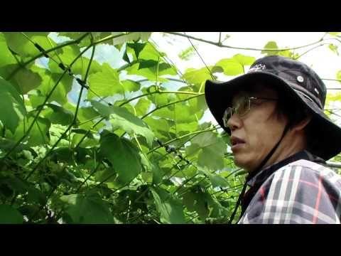 포도 묘목관리 캠벨 - YouTube