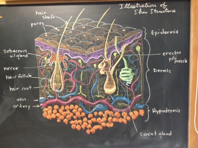 Skin structure. 7th Grade.