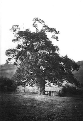 The Queen's Oak, Potterspury, (early 20th century). Where Elizabeth Woodville encountered the king.