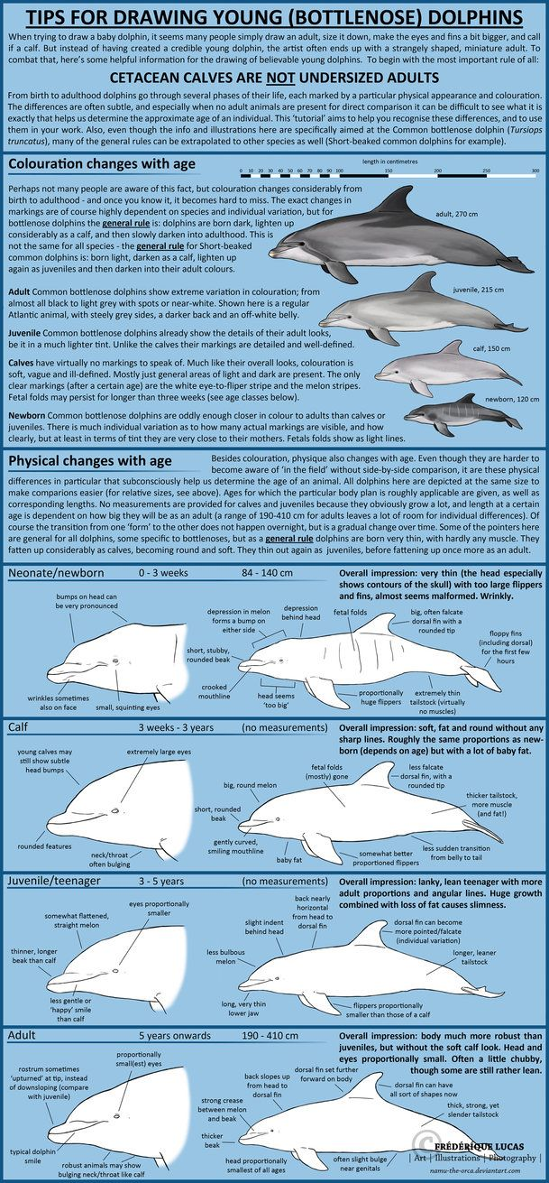 Species depicted: Common bottlenose dolphin (Tursiops truncatus) Time taken: unrecorded References used:manymanymany Tools of the trade: Photoshop CS5 It's been more than three years since I ...