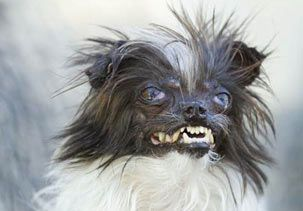 Image: Peanut, a contestant in the World's Ugliest Dog Contest (© World's Ugliest Dog Contest)  man !!! poor little bugger really is UGLY !