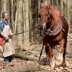 Logging horses are used for sustainable forestry in Bansow, Germany