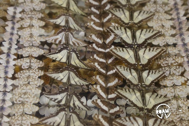 There is something profoundly Victorian about butterfly collecting. This abundance of Virginia City butterflies was collected by Sam and George Harriman.