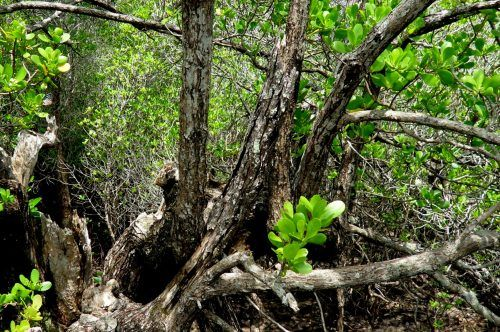 The Kung Krabaen Bay Nature Centre is a fantastic opportunity to explore the mangroves along the coastline of Chanthaburi in Thailand.