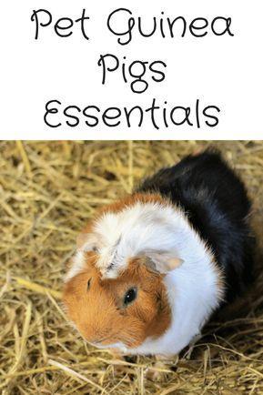 Pet Guinea Pigs Necessities