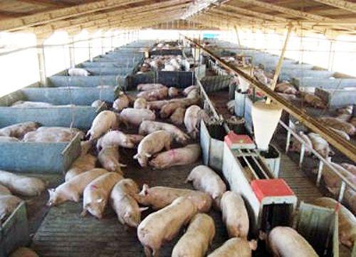 Pregon Agropecuario :: LA GESTACIÓN COLECTIVA, UN SISTEMA QUE AUMENTA LA COMPETITIVIDAD EN LA CADENA PORCINA - Otros Ganados y Carnes - Porcinos