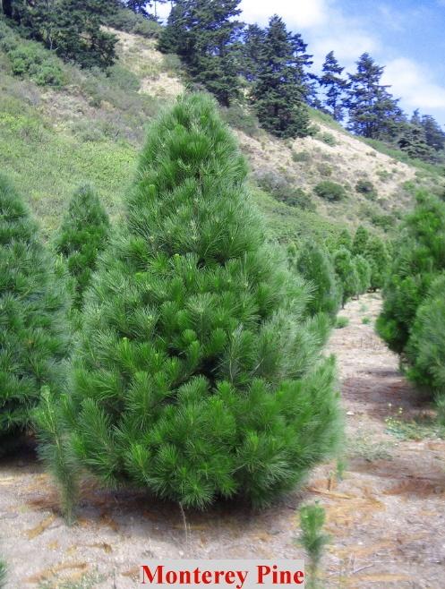 South Carolina Christmas Tree Farms