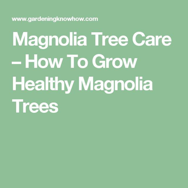 Magnolia Tree Care – How To Grow Healthy Magnolia Trees