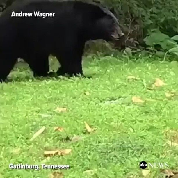 @Regrann from @abcnews -  Bear and her cubs rummage outside of a family's cabin in Gatlinburg Tennessee rooting through their garbage. #bear #bears #babybear #animal #animals #babyanimal #tennessee  #Explore #MMV www.biglifemmv.com - #regrann