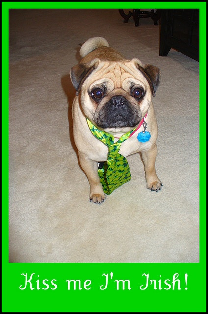 Bandit has his shamrock party tie on and is ready for St. Patrick's Day.   A Chinese Pug, trying to look Irish, while hoping for a French kiss.....go figure.......     Mwah  <3