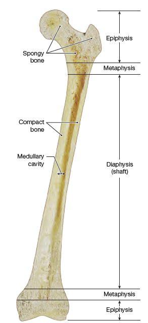 A Photograph Of A Longitudinal Section Through A Femur