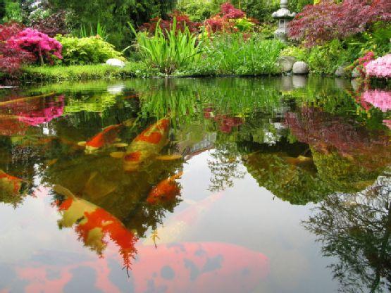 113 best images about japanese koi ponds on pinterest for Japanese garden koi